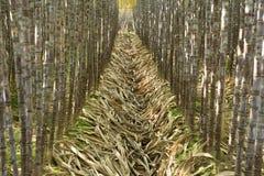 Plantas da cana-de-açúcar fotos de stock royalty free