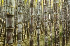 Plantas da cana-de-açúcar foto de stock