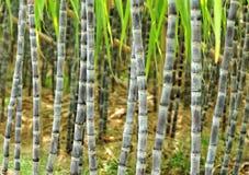 Plantas da cana-de-açúcar imagem de stock