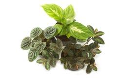 Plantas da casa com as folhas do verde no potenciômetro Foto de Stock Royalty Free