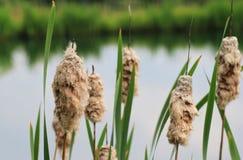 Plantas da cauda de gato, semeadas imagens de stock