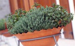 Plantas da erva dentro ao potenciômetro no balcão Imagens de Stock Royalty Free