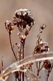 Plantas da foto congeladas pela geada Fotos de Stock Royalty Free