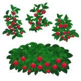 Plantas da framboesa ilustração do vetor