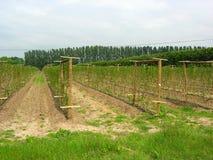 Plantas da framboesa no campo Imagens de Stock