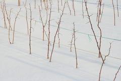 Plantas da framboesa no inverno Fotografia de Stock Royalty Free
