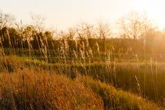 Plantas da grama contra um por do sol glaring Árvores sem fundo das folhas Foto de Stock Royalty Free