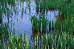 Plantas da lagoa Foto de Stock Royalty Free