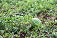 Plantas da melancia imagem de stock royalty free