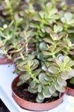 Plantas da mola Foto de Stock Royalty Free