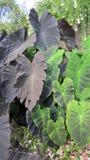 Plantas da orelha de elefante Imagem de Stock