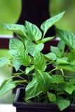 Plantas da pimenta fotos de stock