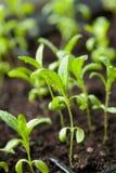 Plantas da plântula que crescem na bandeja do plástico da germinação foto de stock royalty free