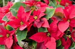 Plantas da poinsétia Foto de Stock