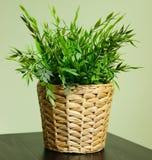 Plantas da sala Fotos de Stock Royalty Free