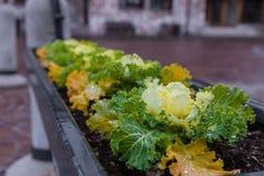 Plantas da salada plantadas no potenciômetro em Roccaraso, Abruzzo, Itália OC Fotos de Stock Royalty Free