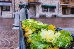 Plantas da salada plantadas no potenciômetro em Roccaraso, Abruzzo, Itália OC Fotografia de Stock Royalty Free