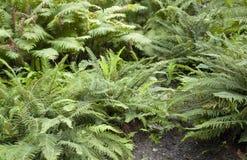 Plantas da samambaia fotografia de stock royalty free