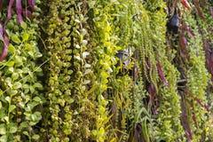 plantas da samambaia nos potenciômetros de flor, parede vertical do jardim interno em gard Imagem de Stock