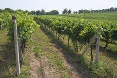 Plantas da uva no vinhedo fotos de stock