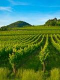 Plantas da vinha em um vinhedo Fotografia de Stock Royalty Free