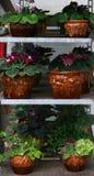 Plantas da violeta africana Fotografia de Stock Royalty Free