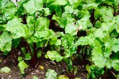 Plantas das beterrabas Fotografia de Stock Royalty Free