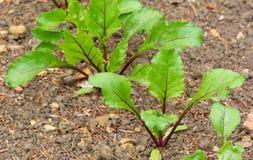 Plantas das beterrabas que começam tornar-se em um lote vegetal Imagem de Stock Royalty Free