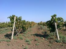 Plantas das uvas Fotografia de Stock