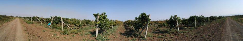 Plantas das uvas Fotos de Stock