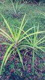 Plantas de abacaxi Foto de Stock Royalty Free