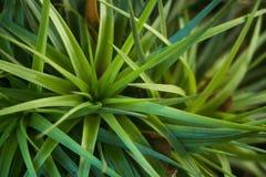 Plantas de abacaxi novas Fotografia de Stock Royalty Free