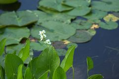 Plantas de agua Imagen de archivo