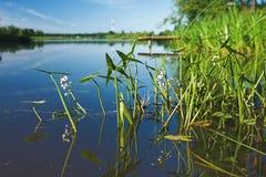Plantas de agua en el río de Volga Imágenes de archivo libres de regalías