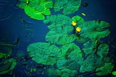 Plantas de agua en la superficie de un río Imagen de archivo libre de regalías