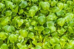 Plantas de agua salvajes del jacinto común con gotas de lluvia fotos de archivo libres de regalías