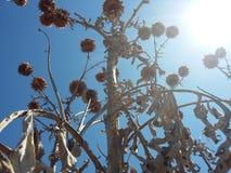Plantas de alcachofa en el cielo imagenes de archivo