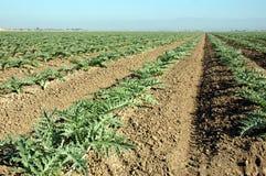 Plantas de alcachofra novas 1 Imagem de Stock