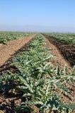 Plantas de alcachofra novas 3 Imagem de Stock Royalty Free