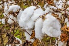 Plantas de algodão Foto de Stock