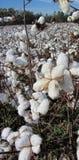 Plantas de algodão de Alabama - hirsutum do Gossypium fotos de stock