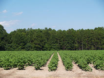 Plantas de algodão verdes imaturas novas em um campo Fotos de Stock Royalty Free