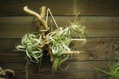 Plantas de ar do Tillandsia em um de madeira Fotografia de Stock Royalty Free