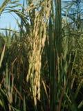 Plantas de arroz imagen de archivo libre de regalías