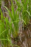Plantas de arroz Fotos de Stock