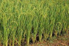 Plantas de arroz Fotografía de archivo libre de regalías