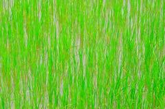 Plantas de arroz Fotos de archivo libres de regalías