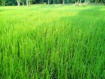 Plantas de arroz fotos de stock royalty free