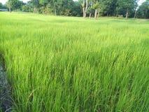 Plantas de arroz imagens de stock royalty free