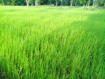 Plantas de arroz imagens de stock